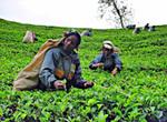 スリランカの茶のプランテーション.jpg